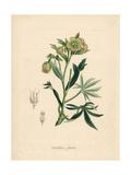 Foetid or Stinking Hellebore, Helleborus Foetidus Giclee Print by M.A. Burnett