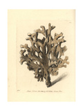 Sea Ginger, Millepora Alcicornis Giclee Print by Richard Nodder
