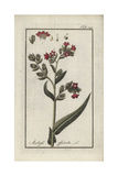 Bugloss or Alkanet, Anchusa Officinalis Giclee Print