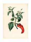 Bell or Chilli Pepper, Capsicum Annuum Giclee Print by M.A. Burnett