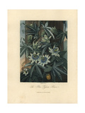 Blue Passion Flower, Passiflora Caerulea Giclee Print by Philip Reinagle