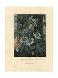 Blue Passion Flower, Passiflora Caerulea Giclee Print by Philip Reinagle