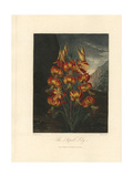 Superb Lily, Lilium Superbum Giclee Print by Philip Reinagle