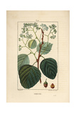 Assyrian Plum or Lasura, Cordia Myxa Giclee Print by Pierre Turpin