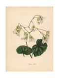 Shining Begonia, Begonia Minor Giclée-tryk af M.A. Burnett