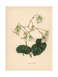 Shining Begonia, Begonia Minor Giclee Print by M.A. Burnett