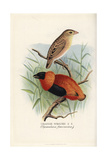 Orange Weaver, Ploceus Aurantius Giclee Print by Frederick William Frohawk