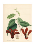 Borneo Camphor Tree, Dryobalanops Aromatica, Endangered Giclee Print by M.A. Burnett