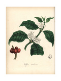 Coffee, Coffea Arabica Giclee Print by M.A. Burnett
