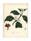 Coffee, Coffea Arabica Giclee Print by M.A. Burnett