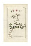 Twin Flower, Linnaea Borealis Reproduction procédé giclée