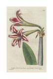 Superb Amaryllis, Hippeastrum Vittatum Giclee Print by Sydenham Edwards