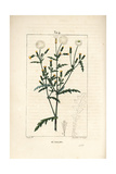 Common Groundsel, Senecio Vulgaris Giclee Print by Pierre Turpin