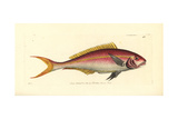 Yellowtail Snapper, Ocyurus Chrysurus Giclee Print by Richard Nodder