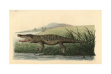 American Crocodile, Crocodylus Acutus Vulnerable Giclee Print by Richard Nodder
