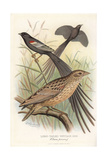 Long-Tailed Whydah, Chera Procne Giclee Print by Frederick William Frohawk