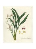 Lance-Leafed Cymbidium Orchid, Cymbidium Lancifolium Giclee Print by William Jackson Hooker