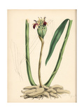 Ginger, Zingiber Officinale Giclee Print by M.A. Burnett