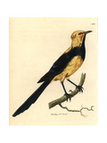 Australasian Thrush from Shaw and Nodder's, Naturalist's Miscell Giclee Print by Richard Nodder