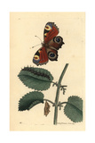 European Peacock Butterfly, Inachis Io, Caterpillar and Pupa Giclee Print by Richard Nodder