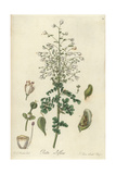 Boenninghausenia Albiflora Var Albiflora Giclee Print by William Jackson Hooker
