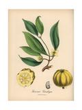 Brindleberry, Garcinia Gummi-Gutta Giclee Print by M.A. Burnett