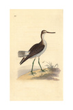 Common Greenshank, Tringa Nebularia Giclee Print by Edward Donovan