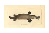 Duck-Billed Platypus, Ornithorhynchus Anatinus Giclee Print by George Shaw