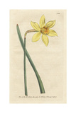 Peerless Daffodil, Narcissus Incomparabilis Giclee Print by James Sowerby