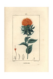 Safflower or False Saffron, Carthamus Tinctorius Giclee Print by Pierre Turpin