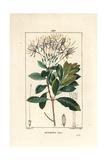 Exostema Sanctae-Luciae (Syn Cinchona Floribunda) Giclee Print by Pierre Turpin