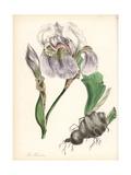 Florentine Iris, Iris Florentina Giclee Print by M.A. Burnett