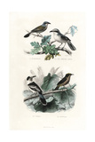 Shrikes, Hook-Billed Vanga and Gonolek Giclee Print by Edouard Travies