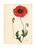 Corn Poppy or Field Poppy, Papaver Rhoeas Giclee Print by M.A. Burnett