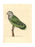 Grey-Headed Lovebird, Agapornis Canus Canus Giclee Print by George Shaw