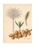 Date Palm, Phoenix Dactylifera Giclee Print by M.A. Burnett