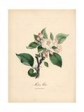 Sweet Apple, Malus Domestica Giclee Print by M.A. Burnett