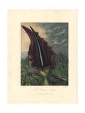 Dragum Arum, Dracunculus Vulgaris Giclee Print by Peter Henderson