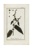 Red-Veined Dock, Rumex Sanguineus Giclee Print
