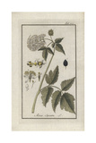 Eurasian Baneberry or Herb Christopher, Actaea Spicata Giclee Print