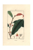 Cocoa or Cacao Plant, Theobroma Cacao Giclee Print by Pierre Turpin