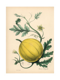 Bitter Apple, Citrullus Colocynthis Giclee Print by M.A. Burnett