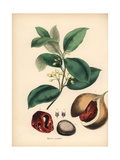 Nutmeg and Mace Tree, Myristica Fragrans Giclee Print by M.A. Burnett