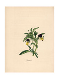 Heartsease, Viola Tricolor Giclee Print by M.A. Burnett