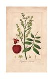 Lychee Tree, Litchi Chinensis Giclee Print by Pancrace Bessa
