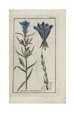 Marsh Gentian, Gentiana Pneumonanthe Giclee Print
