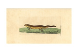 Smooth Newt, Triturus Vulgaris Giclee Print by George Shaw