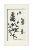 Hyssop, Hyssopus Officinalis Giclee Print