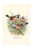 Parson or Black-Throated Finch, Poephila Cincta Giclee Print by Frederick William Frohawk