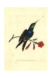 Fork-Tailed Woodnymph Hummingbird, Thalurania Furcata Giclee Print by George Shaw
